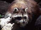 Raccoon by Johnny Furlotte