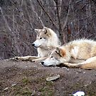 Timber Wolf Pair by Johnny Furlotte