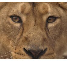 Asiatic Lioness Photographic Print