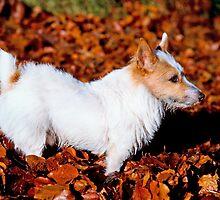 Jack in Autumn by Kawka