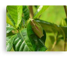 Froggie on a leaf HDR Canvas Print