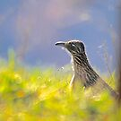 Roadrunner, Out For Lunch by NatureGreeting Cards ©ccwri