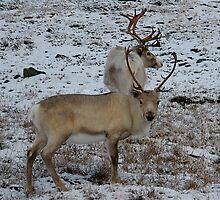 Reindeers in the Norweigian winter by C1oud