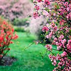 Azalea Bushes by KellyHeaton