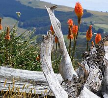 red hot pokers and dead tree stumps  at Wilmot by gaylene