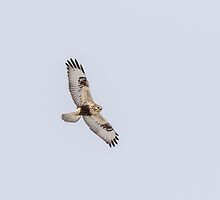 Rough-legged Hawk In Flight by Thomas Young