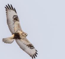 Rough-legged Hawk In Flight Sticker