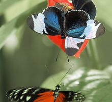 Heliconia-butterflies by jimmy hoffman