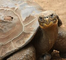 Galapagos Tortoise by Steve Bullock
