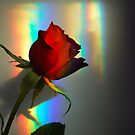 Red Rose by FelicityB