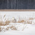 Snowy Owl At The Marsh 2 by Thomas Young