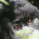 Gorilla Eyes by Steve Bulford