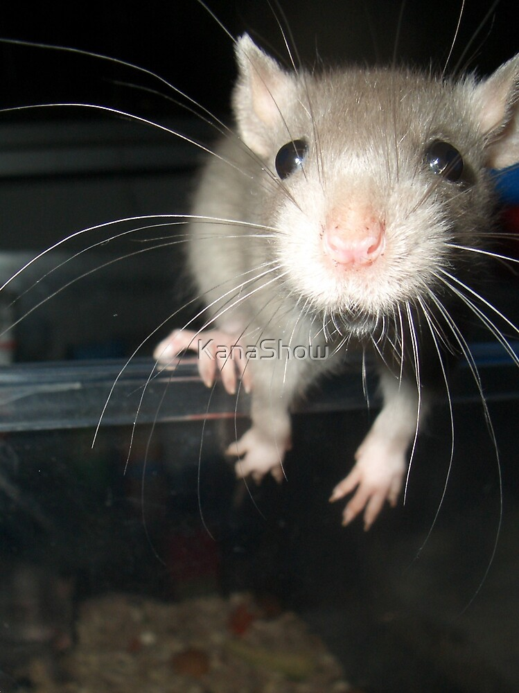 Miracle Quest, baby rat by KanaShow