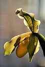 Orchid by jimmy hoffman