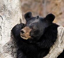 STOCK-Malayan Sun Bear by Jay Ryser