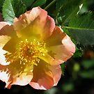 Apricot Beauty by Teresa Zieba