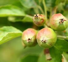 Unripe apples by naturalis