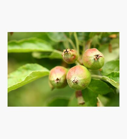 Unripe apples Photographic Print
