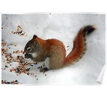 Red Squirrell  Poster