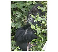 Hide And Seek ~ Gorilla Style Poster