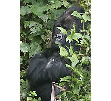 Hide And Seek ~ Gorilla Style Photographic Print