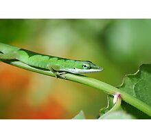 Anole Green Photographic Print