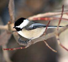 Chickadee In Winter by HALIFAXPHOTO