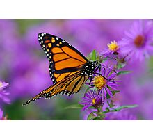 Monarch and Asters Photographic Print