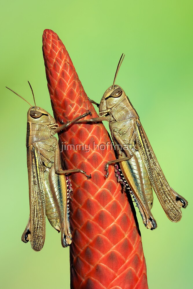 Grasshoppers on Aloë by jimmy hoffman