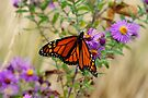 Monarch and Asters 2 by Stephen Beattie