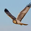 Northern Harrier (Male) by Marvin Collins
