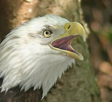 Bald Eagle by Karl R. Martin