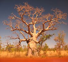 Kimberley Boab Tree. by Nada  Pantle