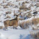 Mule Deer Buck by Melissa  Hintz