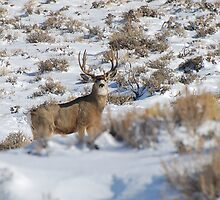 Mule Deer Buck by Melissa  Hintz