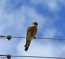 American Kestrel on a Wire by rhamm