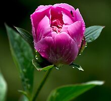 Pink Peony Flower by Christina Rollo