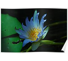 Nile Lily Poster