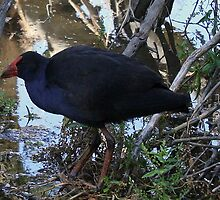 Purple Swamphen by Sprinkla