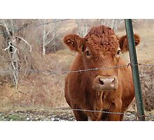 The Red Cow Photographic Print