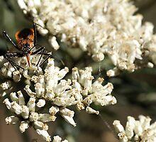 "Orange Assassin Bug ""Gminatus wallengreni or Gminatus australis"" by Rosie Appleton"