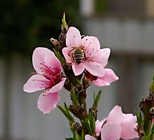 Peach blossom with friend. Does my bum look big in this. by Steve9