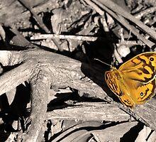 """Common Brown butterfly """"Heteronympha merope"""" by Rosie Appleton"""