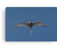 Arctic Tern II Canvas Print