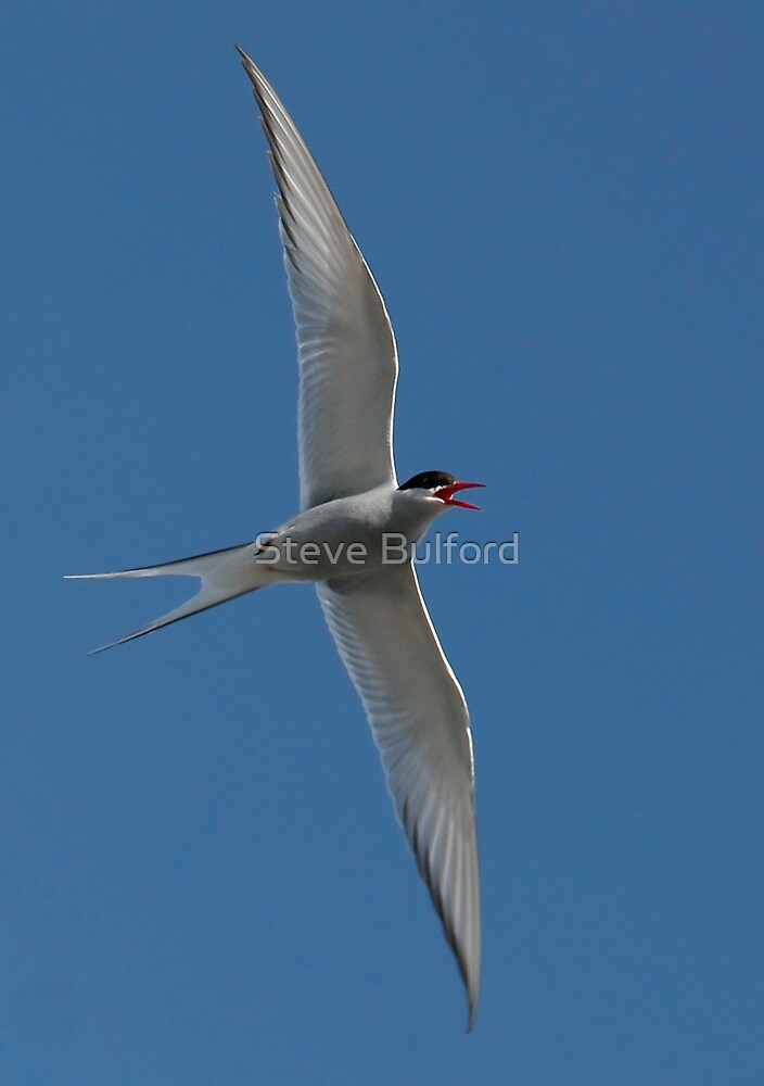 Arctic Tern Turn by Steve Bulford