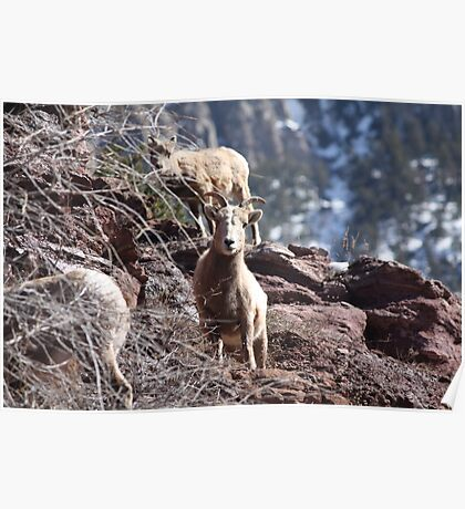 Wildlife- Rocky Mountain Sheep Poster