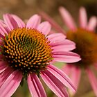 Cone Flower by Chad Suber