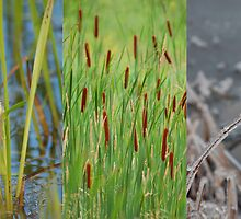 cattail stages by Roslyn Lunetta
