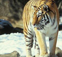 Detroit Tiger by Bill Spengler