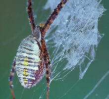 Dew Covered Spider by Bill Spengler